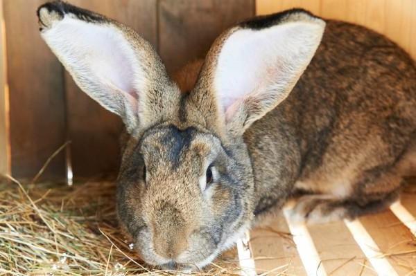 Рацион кроликов основывается на их физическом состоянии и разрабатывается индивидуально