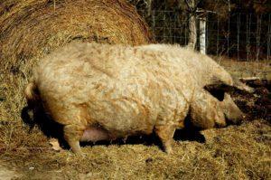 Рожающей свинье будет удобнее находится поодаль от остальных особей