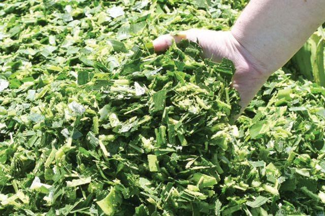 Силос помогает восполнить нехватку сочных кормов в холодные сезоны