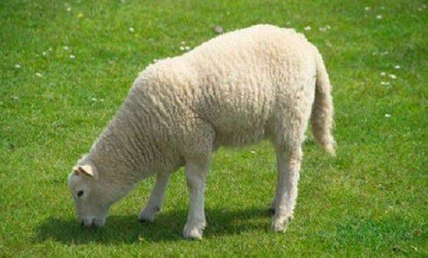 Сочный корм является наиболее полезным для пищеварения и иммунитета овец