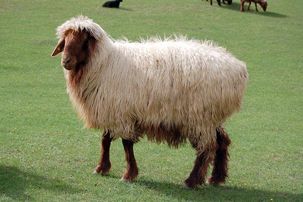 Среди сараджинских овец хорошо распространены особи со светлым окрасом