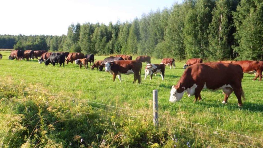 Стойлово-выгульный способ чреват снижением воспроизводство стада