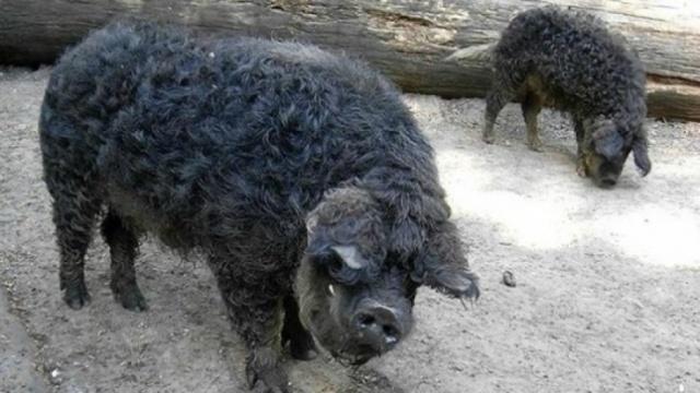 Темный окрас шерсти считается исчезающим и усердно поддерживается селекционерами