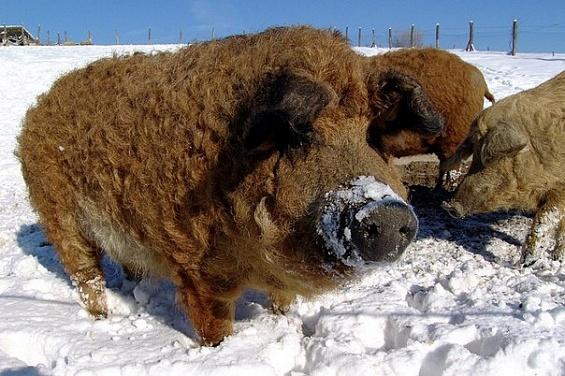 Шерсть венгерской мангалицы позволяет ей легко переносить зимы, но является причиной перегревания летом