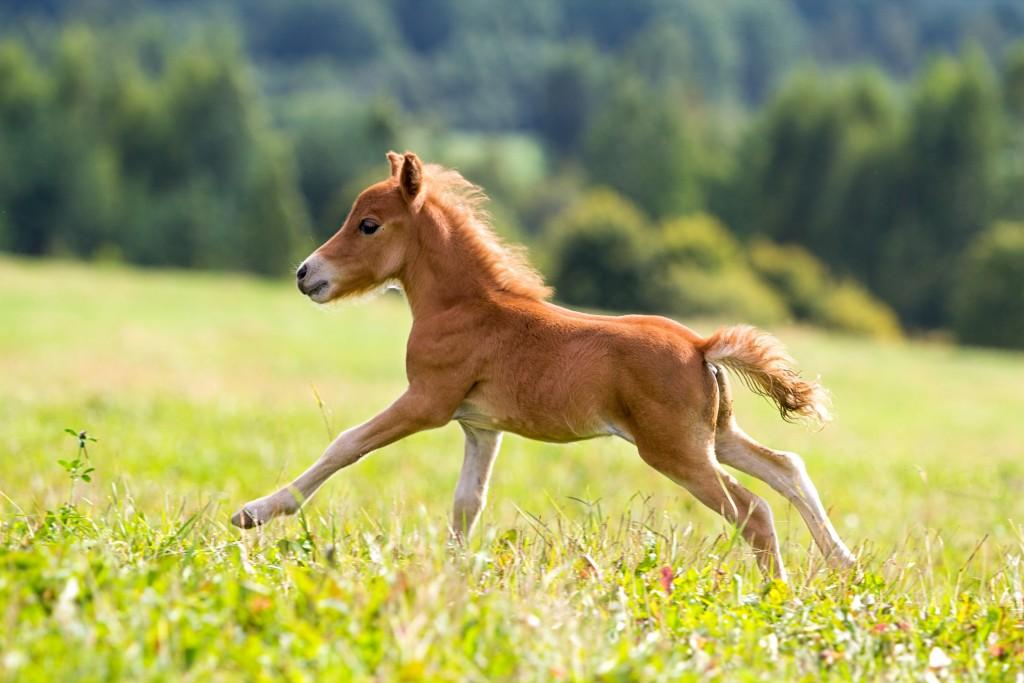 Точных сведений о первых появлениях лошадей Фалабелла до сих пор нет