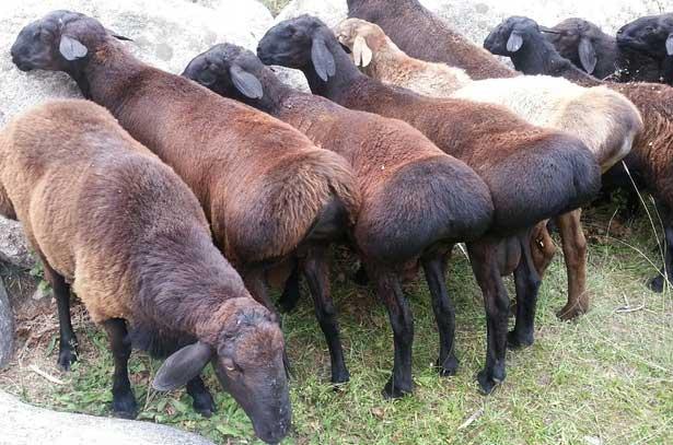 Узкая грудь считается пороком у всех курдючных овец