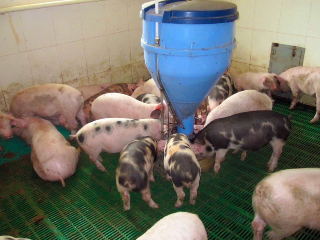Улучшение качества даваемой свиньям пищи повысит аппетит животных