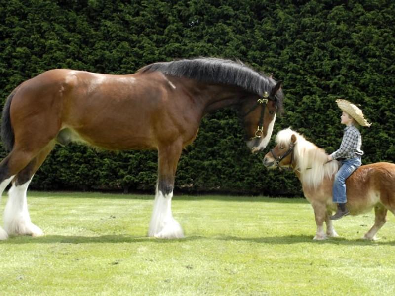 Уход за карликовыми лошадями существенно отличается от ухода за их большими собратьями
