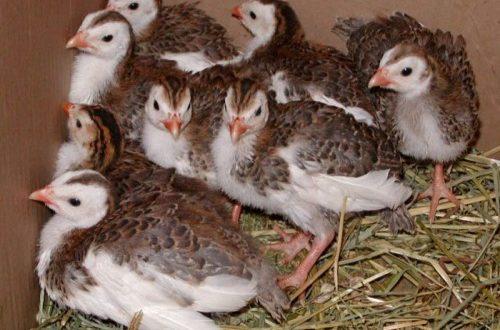 Цыплята котляревской породы обладают хорошим иммунитетом, позволяющим им выжить