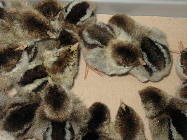 Цыплята котляревской породы