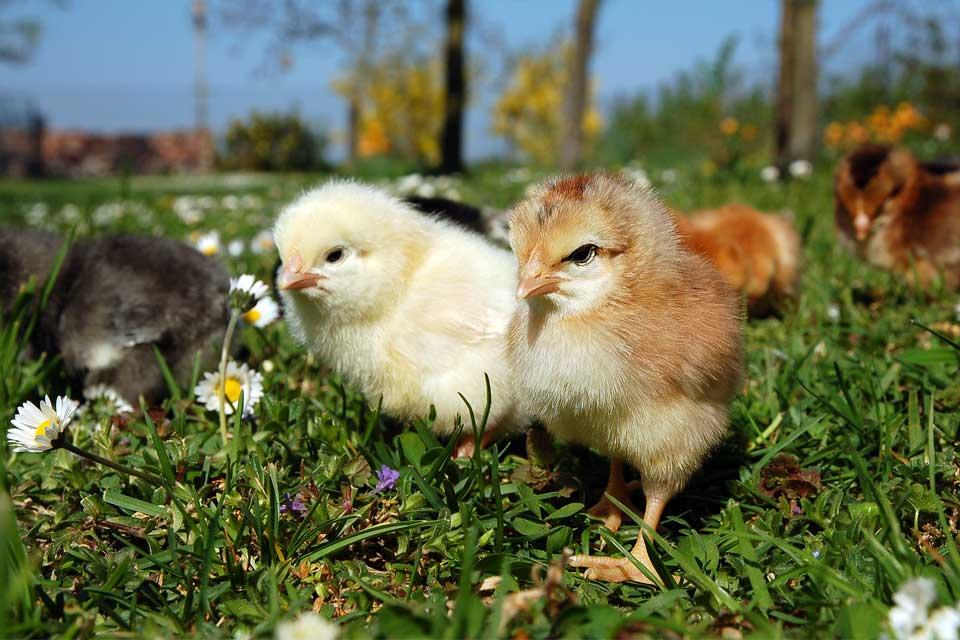 Цыплята породы Доминант на выгуле
