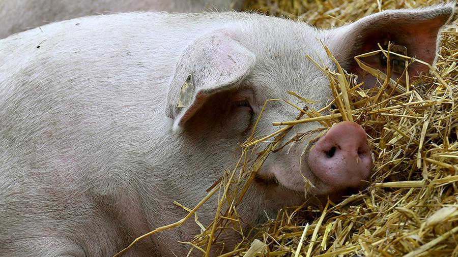 Чем ближе окончание откорма, тем большую массу должна набирать свинья