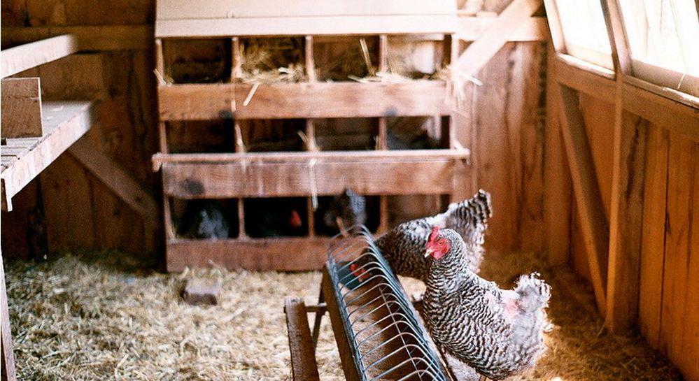 Чтобы избежать расклева яиц, необходимо поселять кур породы Доминант в просторных курятниках