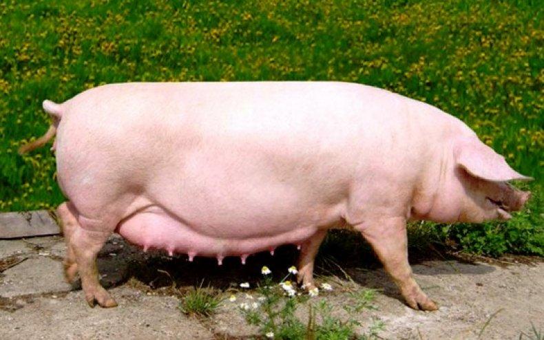 Эстонские свиньи благодаря своей комплекции без усилий откармливаются до нужных кондиций