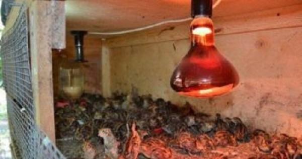 Лампы в курятниках также должны иметь правильный световой диапазон