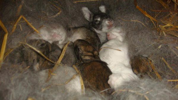 Опытная крольчиха сама соорудит подстилку