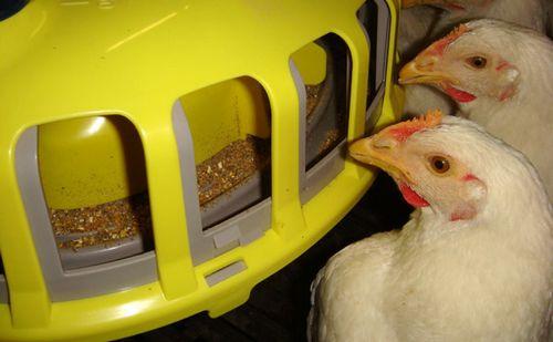 Лампу лучше всего будет размещать над кормушками, чтобы курам было комфортнее употреблять пищу