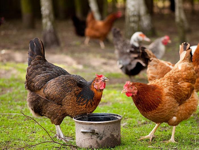 Для того, чтобы обезопасить птиц от заболеваний ЖКТ, допускается использовать Кепроцерил в качестве профилактики