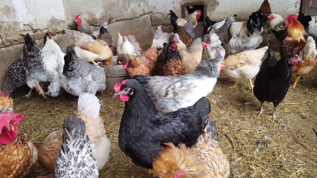 Продажа живих птиц может осуществляться только спустя три недели после окончания лечения