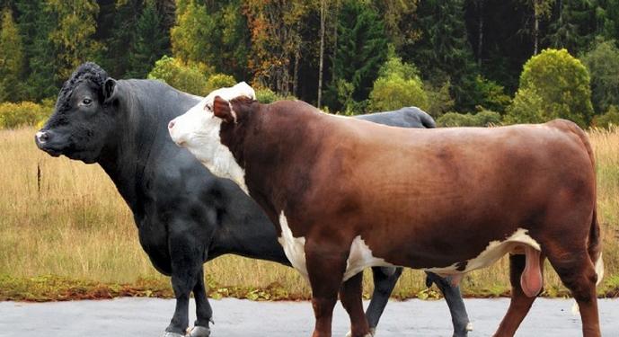 Чем ниже продуктивность, тем вероятнее, что бык в дальнейшем пойдет на убой