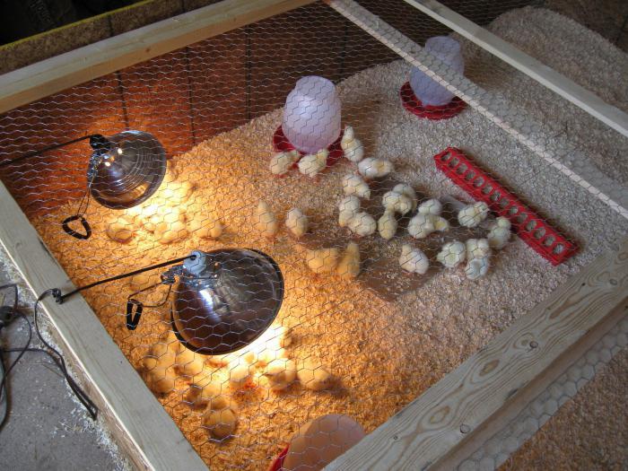 Первые несколько дней цыплята нуждаются в постоянном освещении