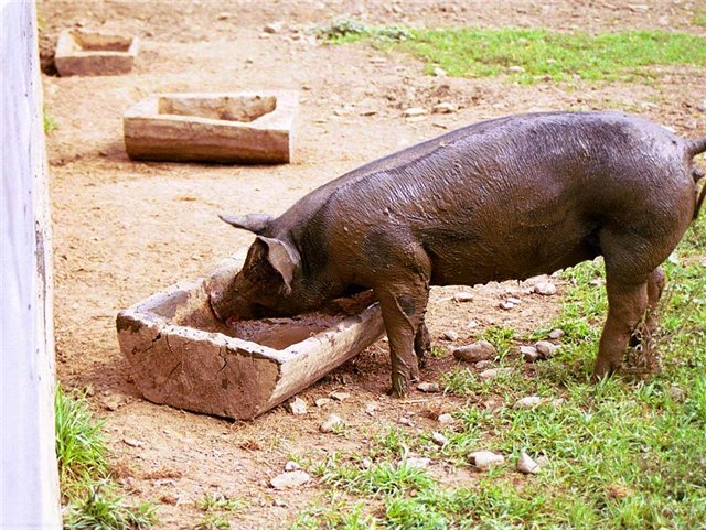 Пример кормушки без перемычек. Свинья быстро загрязняется сама и снижает чистоту пищи