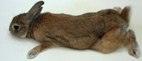 У кролика отказали задние лапы, что делать