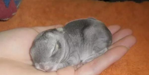Новорожденный кролик