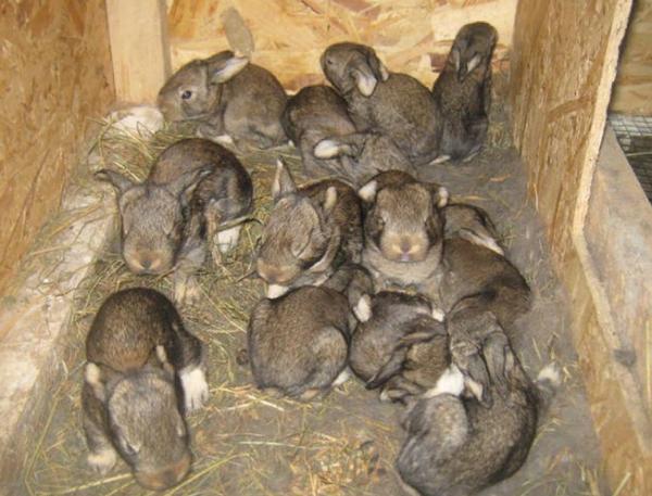 Маточник с крольчатами