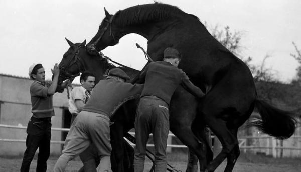 Ручной метод спаривания лошадей