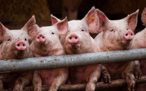 Кормить свиней комбикормом – выгодно!
