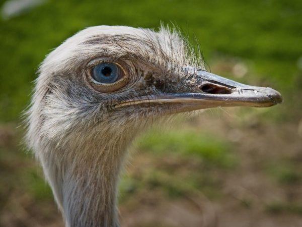 Голубые глаза у страуса