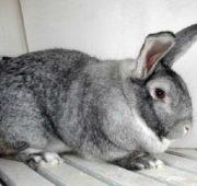 Взрослый кролик