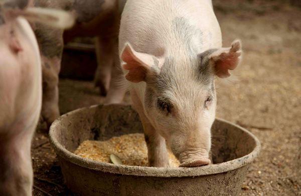 Сколько комбикорма съедает свинья в день
