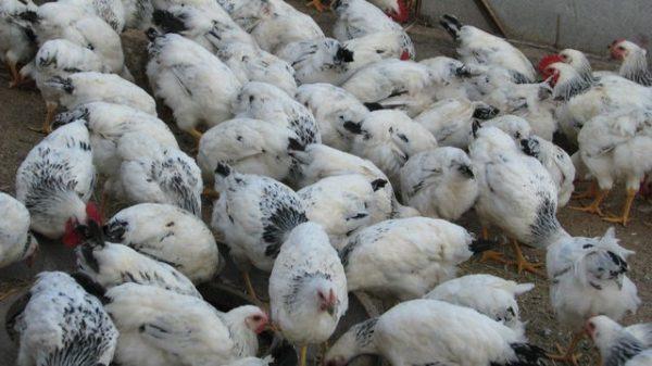 Поголовье птиц растет быстро