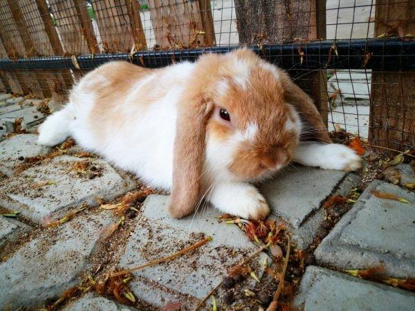 Отказ задних ног у кролика может случиться по разным причинам