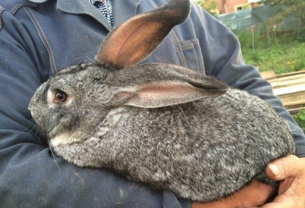 Эта порода кроликов относится к крупной