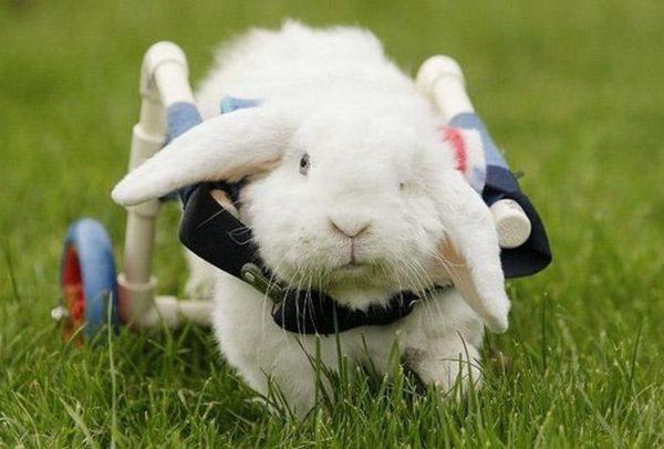 В итоге кролик может остаться инвалидом