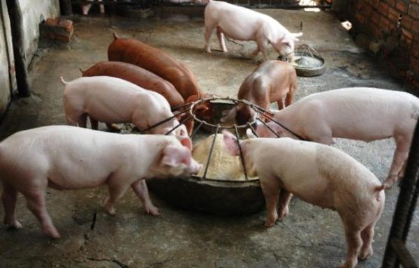 Кормушка для свиней должна иметь ограничители, чтобы животные не влезли внутрь