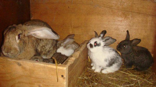 Кормящие крольчихи страдают от нехватки кальция, что может привести к параличу задних ног