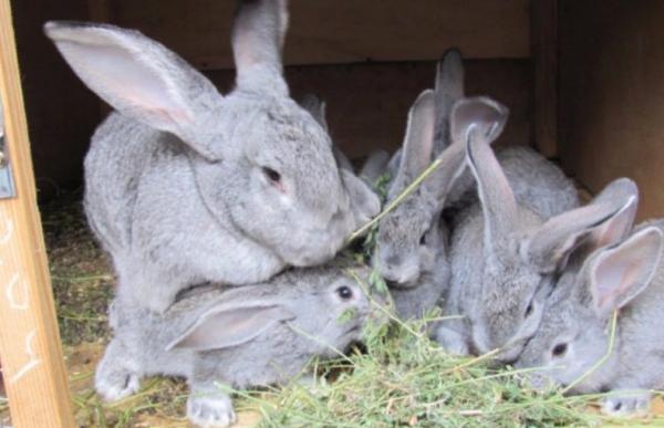 Процесс кормления кроликов