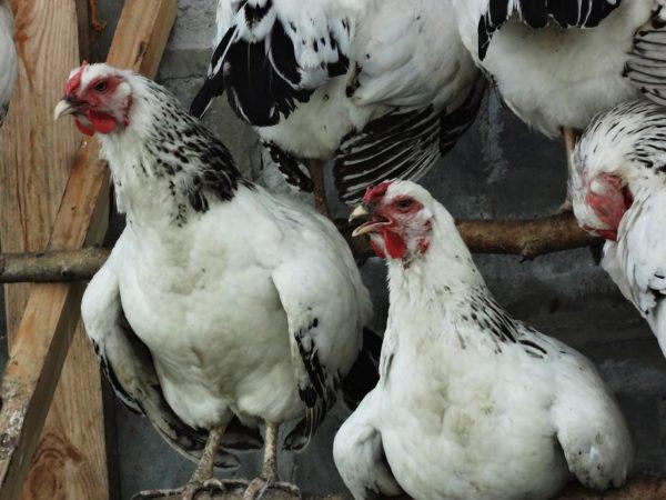 Если не обеспечить птице достойные условия содержания, она может практически перестать давать яйца