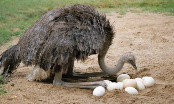 Самец-страус с яйцами