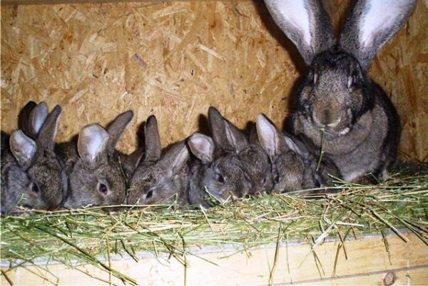 Крольчатам младше двух недель нельзя давать препараты от паразитов