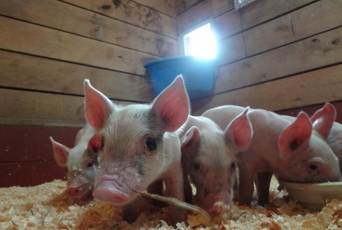 Авитаминоз у свиней приводит к снижению веса и серьезным заболеваниям