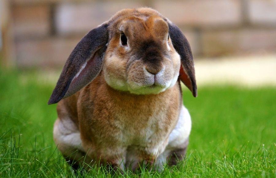 Вельветовых кроликов отличает необычная структура шерсти