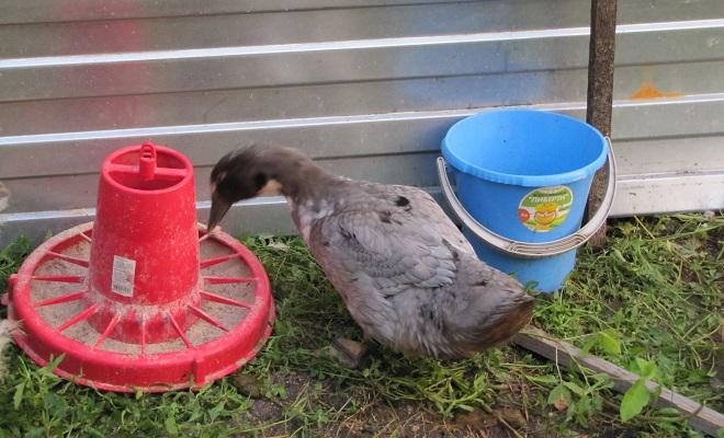 Взрослая утка ест из кормушки