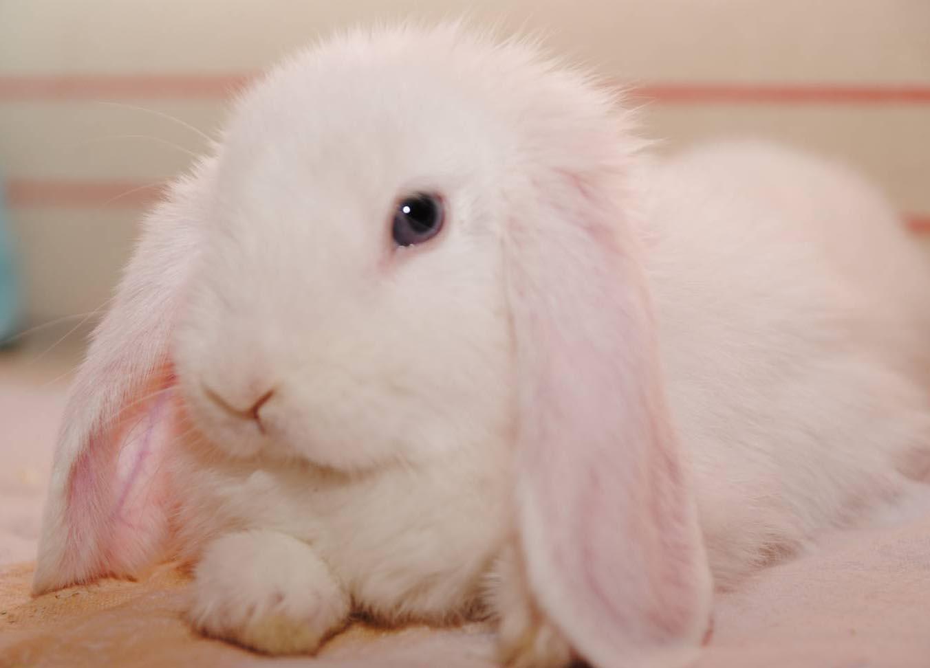 вислоухие кролики уход и содержание
