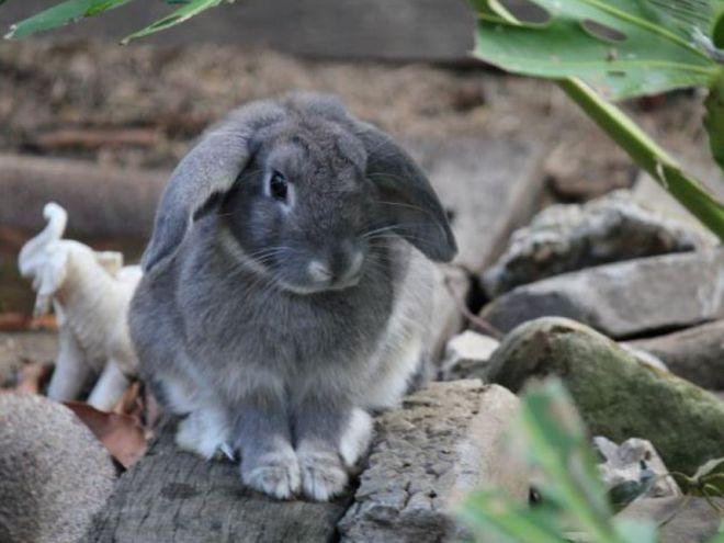 Вислоухим кроликам нужно значительное пространство для жизни