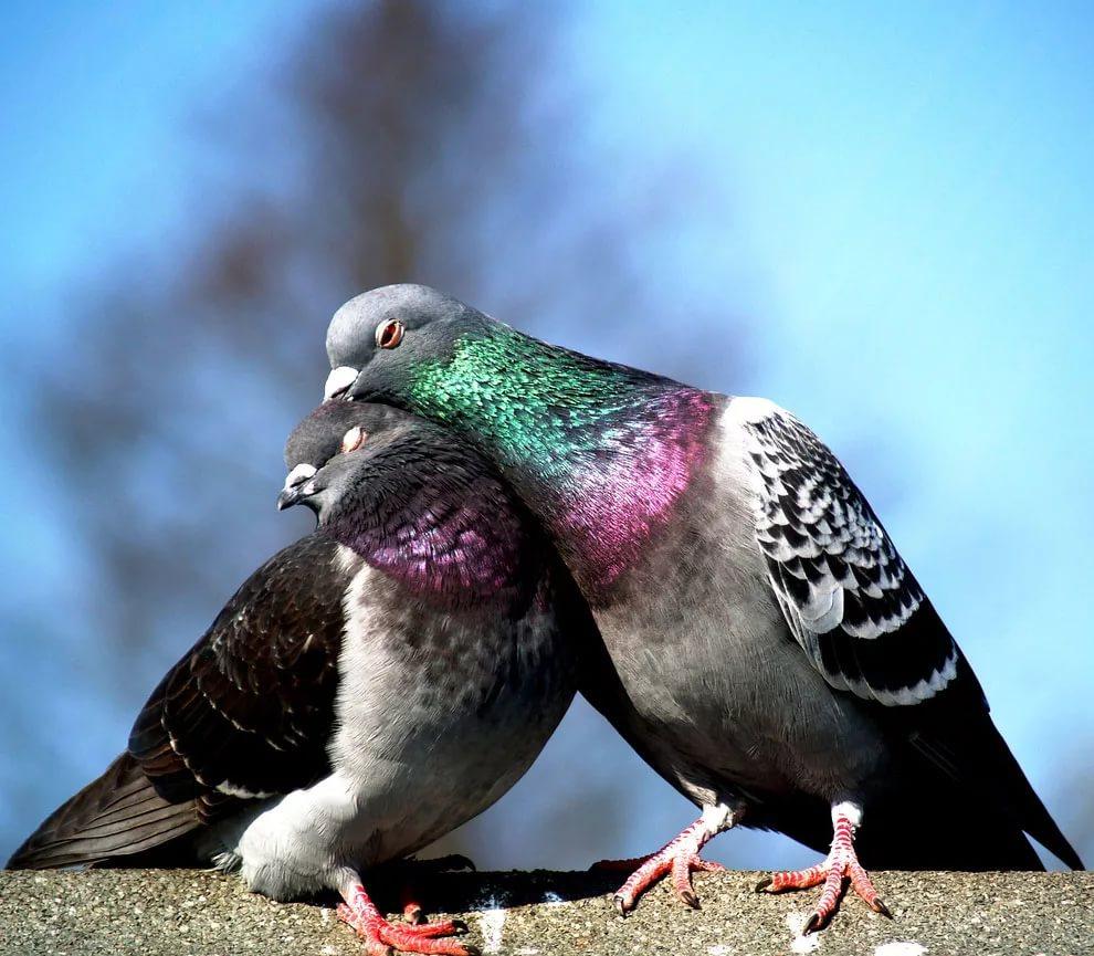Влюбленные голубки